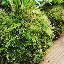 Mousse autour du kokedama