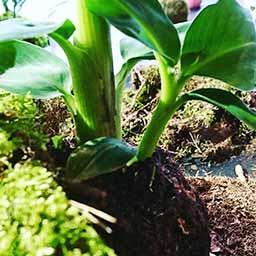 Plante du kokedama