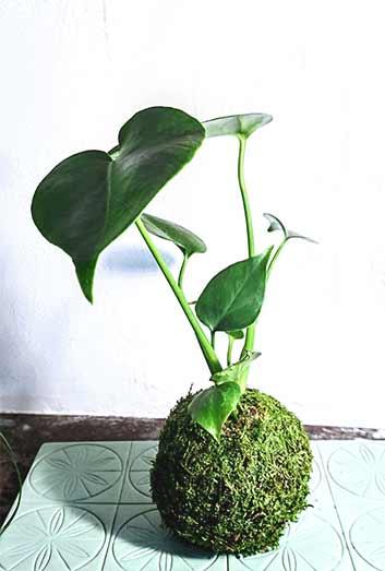 kokedama avec mousse et plante